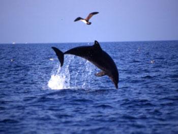 Delfino che gioca con gabbiano