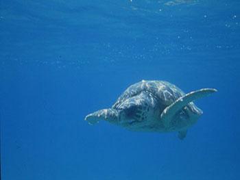 Tartaruga che nuota nel mare azzurro