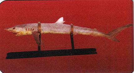 squalo bianco esposizione