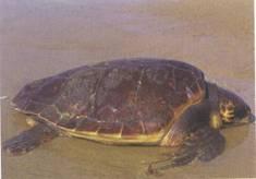 La Tartaruga Caretta Caretta